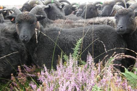 Hebridean conservation grazing