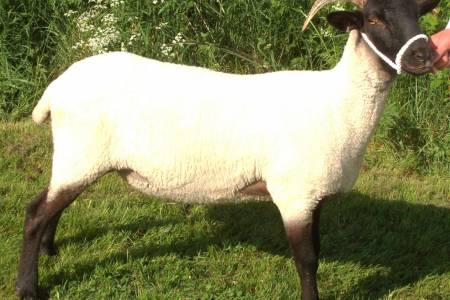 Norfolk Horn ewe