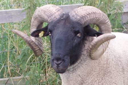 Norfolk Horn ram