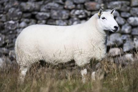 North County Cheviot sheep
