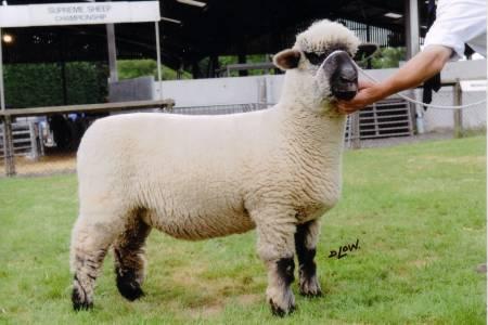 Oxford Down shearling ewe
