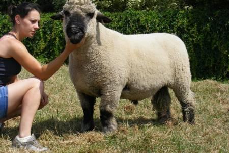 Oxford Down shearling ram