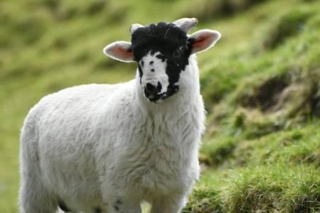 Rough Fell lamb