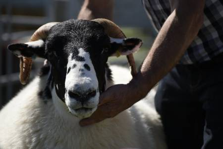Rough Fell ewe