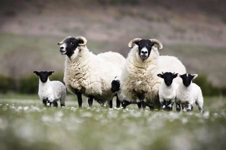 Blackface ewes and lambs