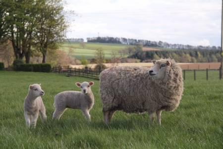 Shetland ewe and lambs