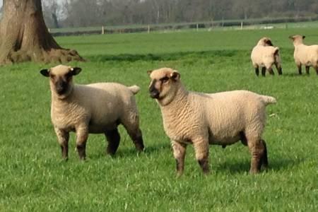Shropshire sheep