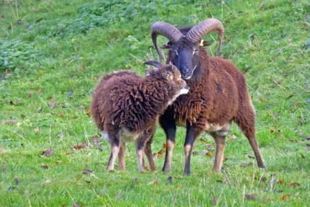 Soay ram and ewe
