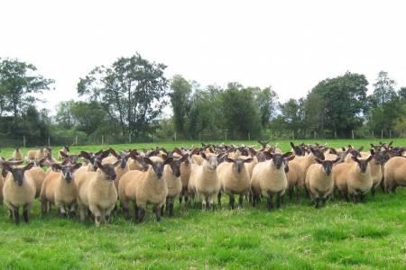 Suffolk cross lambs
