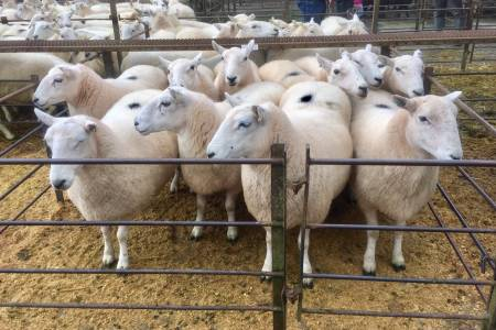 Talybont ewes