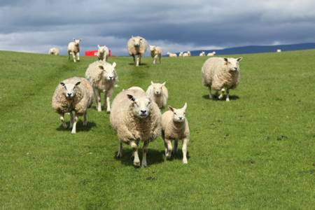 Lambing Work Experience