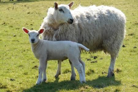 The Sheep Farming Year