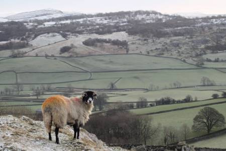 The UK Sheep Industry
