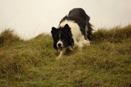 FARM DOG TRIAL