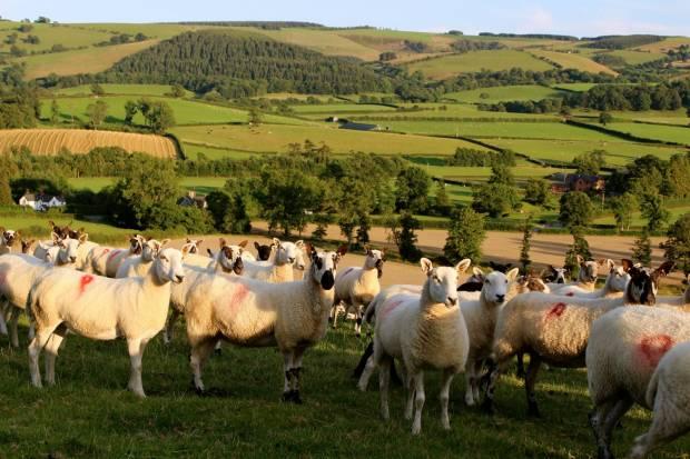 NSA Welsh  Sheep 2015