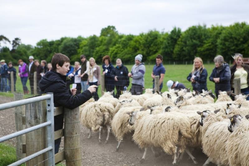 Sheep Counting Competition at NSA Youthful Shepherd's Event 2013.