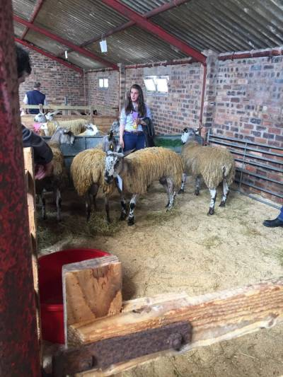 Open stockjudging took place on the day at NSA Scot Sheep 2016.