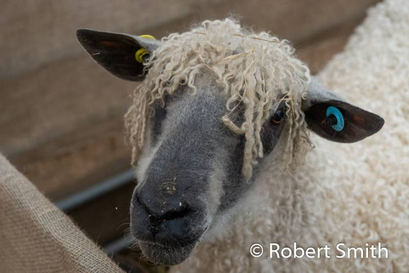 NSA North Sheep 2019