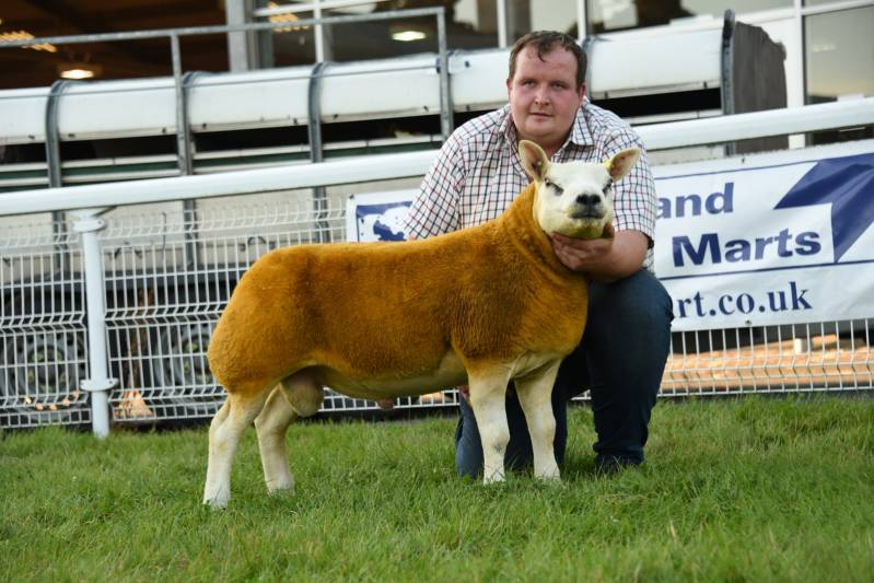 Reserve Champion Ram Lamb from Usk Valley Pedigrees Lot 1880 2800gns