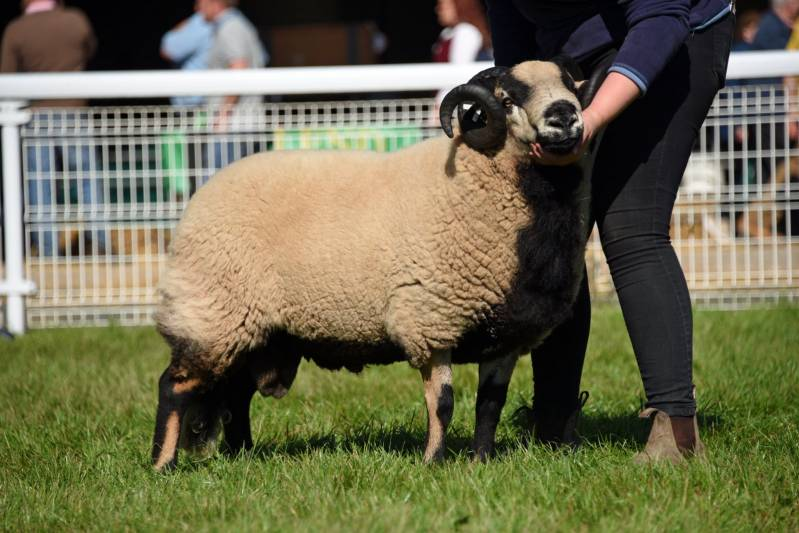 Lot 3552 BadgerFace from Lucy Levinge 1120gns