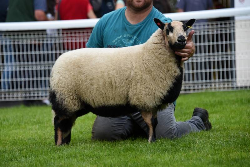 Lot 4551 Torddu champion ewe lamb from Gareth Jones