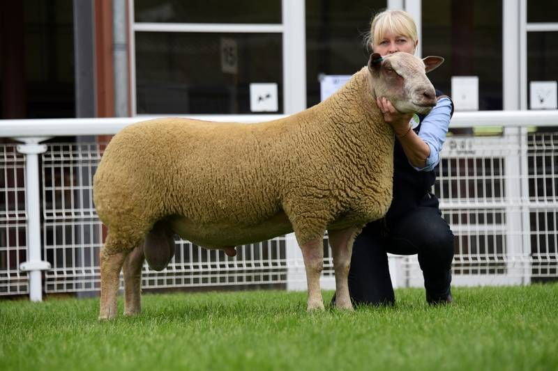 Lot 3839 Charollais ram lamb 3000 gns Mrs J Curtis
