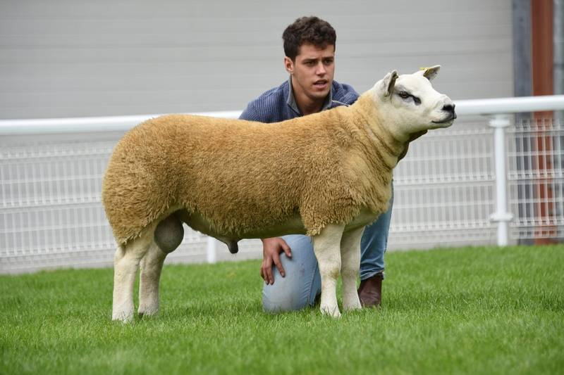 Lot 3163 First prize Texel performance ram lamb 2,300 gns from JE & L Davies Llandeilo