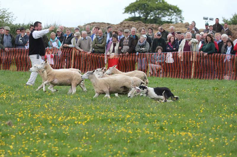 Sheepdog sale with auctioneer James Morrish from Kivells