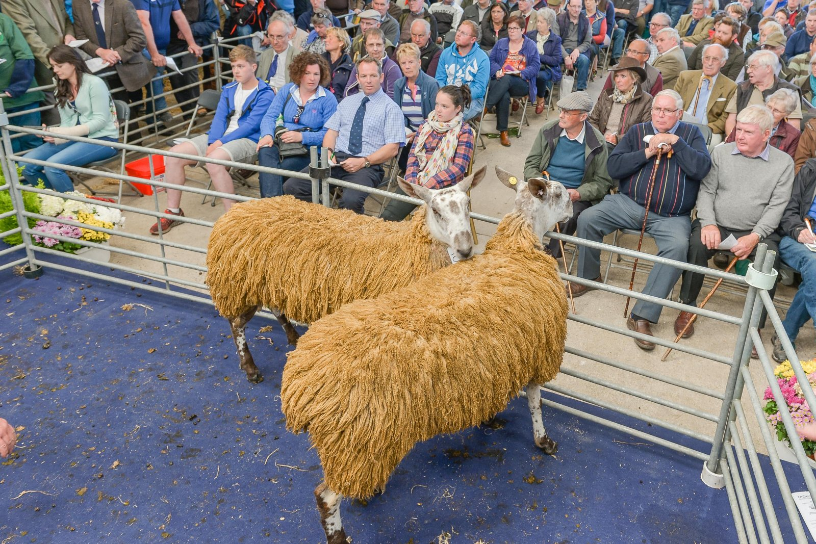 Top price Bluefaced Leicester hoggs being sold in the ewe hogg sale