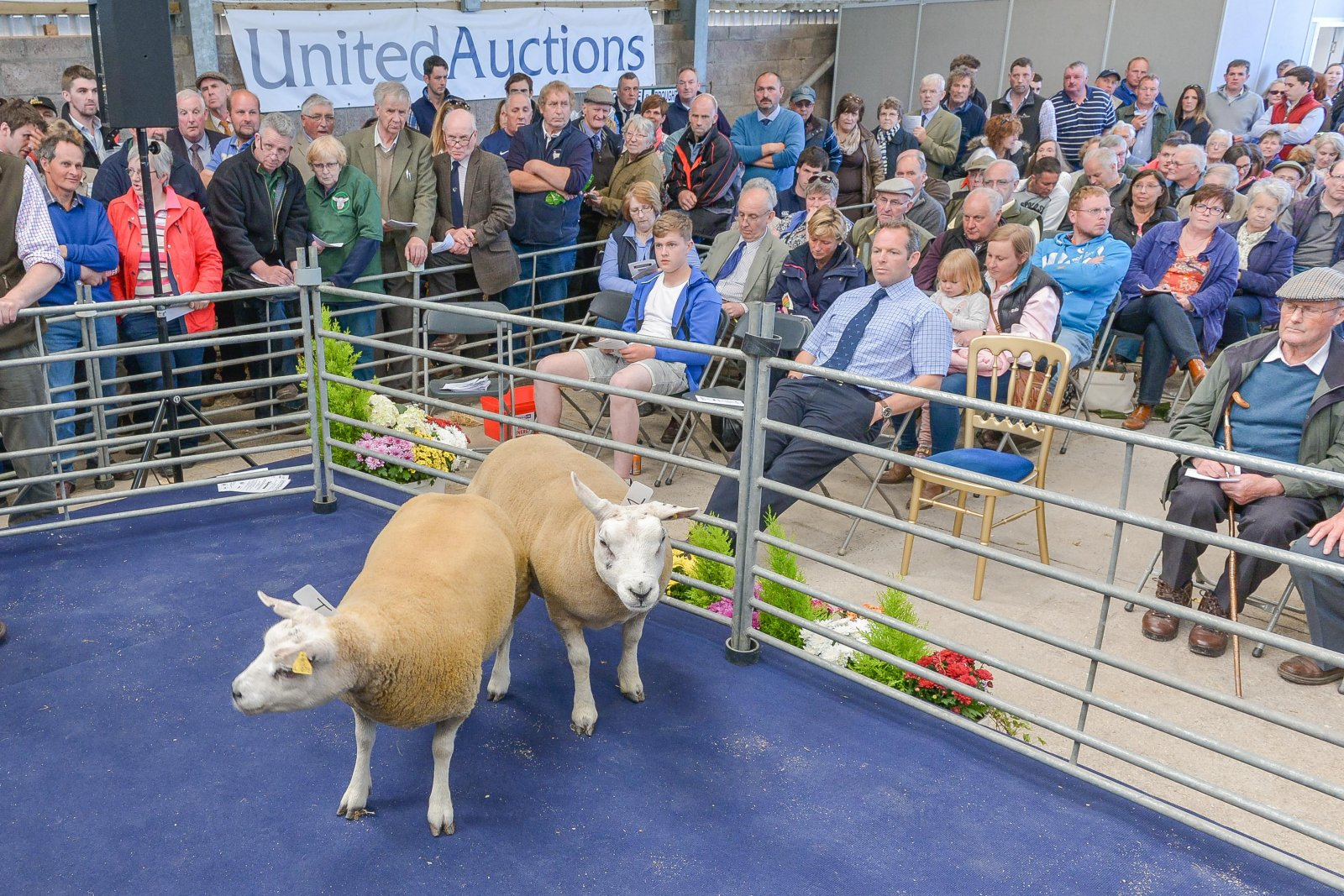 Texel entries being sold in the ewe hogg sale.