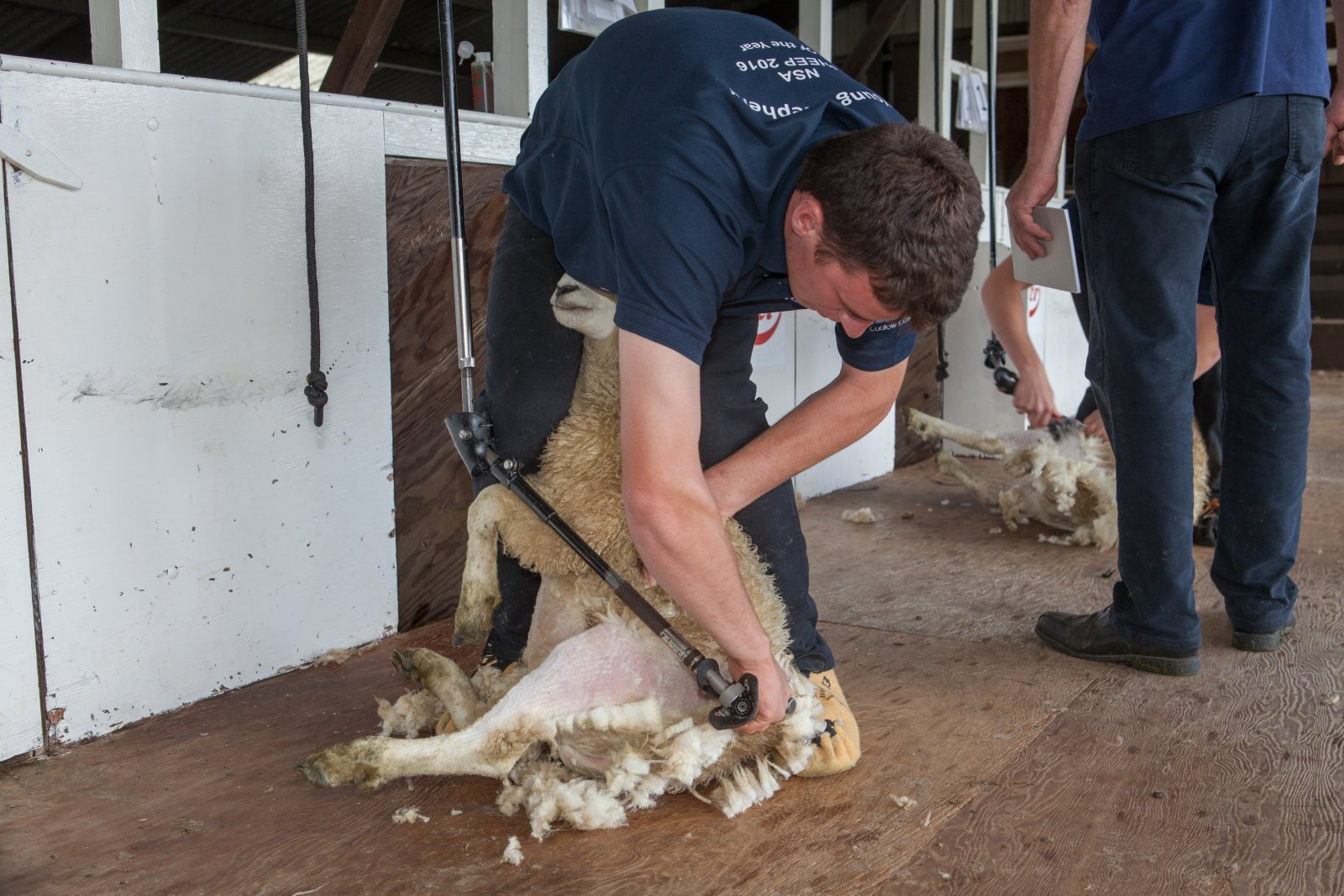 Shearing element of the Young Shepherd competition taking place