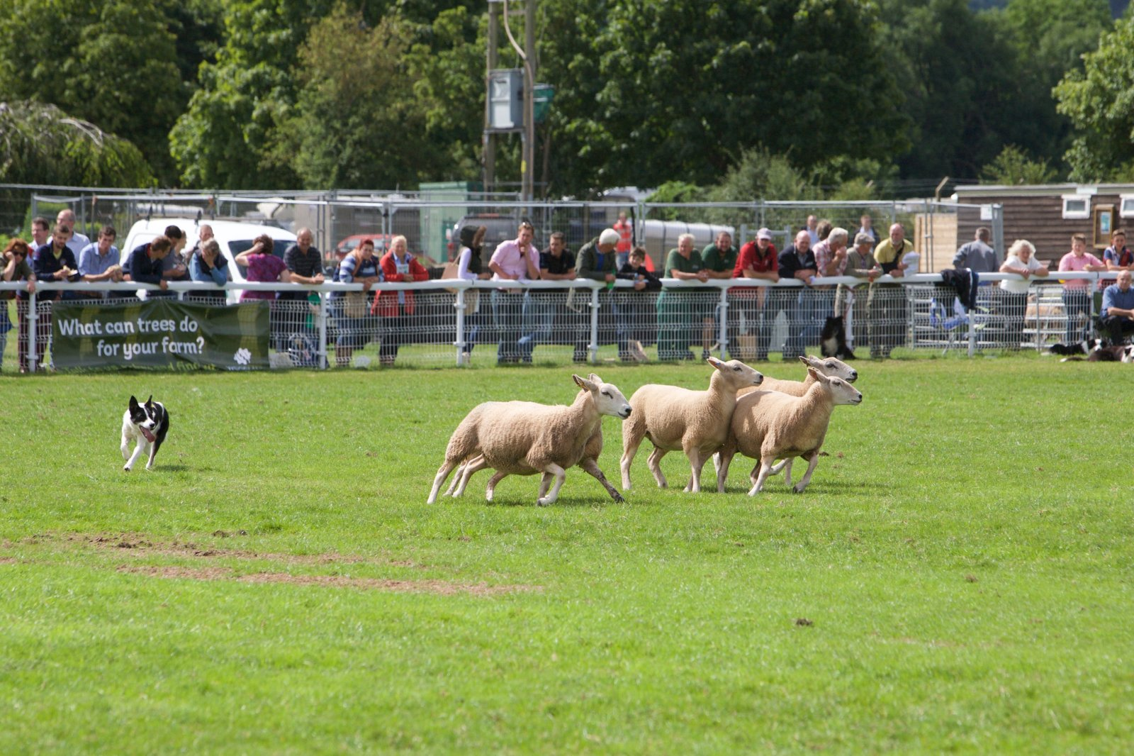 The sheepdog trials always prove a popular attraction at NSA Sheep Events