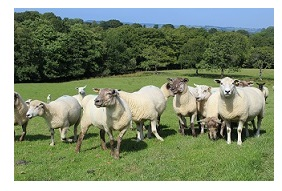 know your sheep year farm