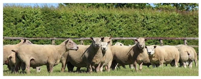 Year on a Sheep Farm   National Sheep Association