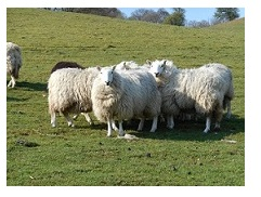 Year on a Sheep Farm | National Sheep Association